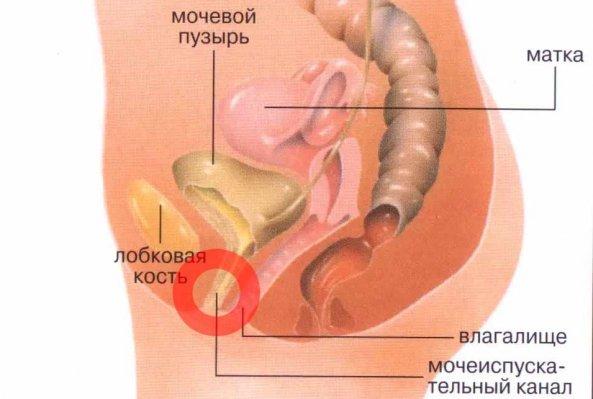 мочеиспускательная система