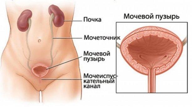 строение мочевого пузыря у женщин